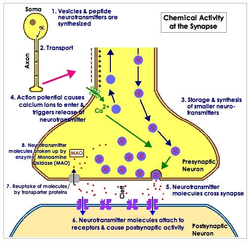 The figure above illustrates the process of synapse